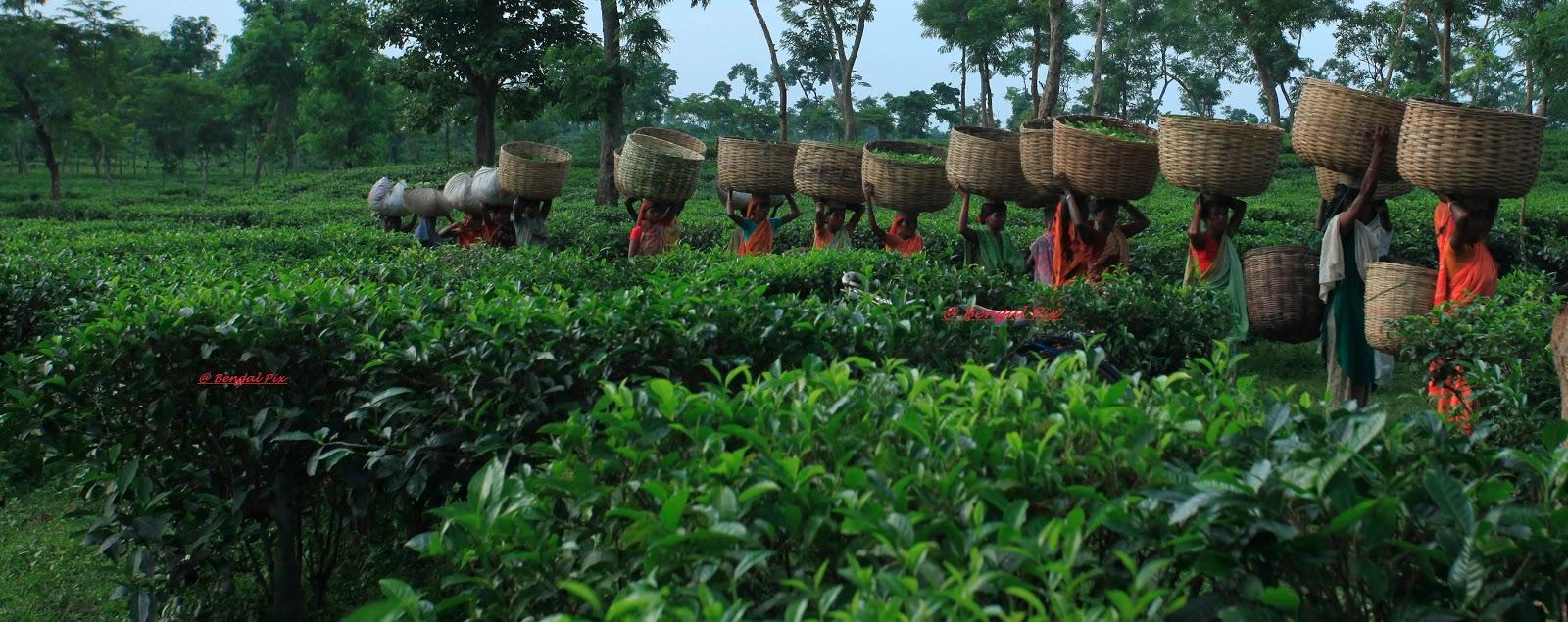 sylhet tea gallery