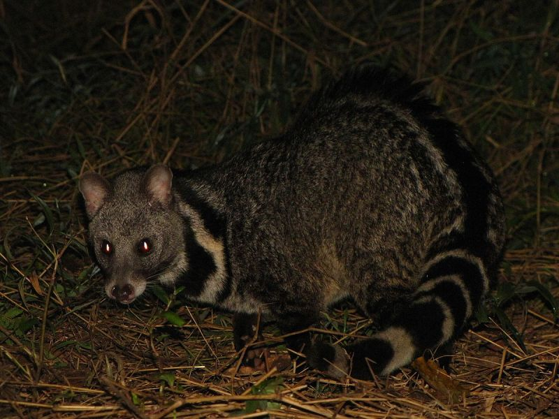 Hello from Large Indian Civet!!