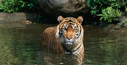 Royal Bengal Tiger, one of the vulnerable species.